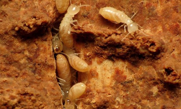 النمل الأبيض بين الحقائق والوقاية