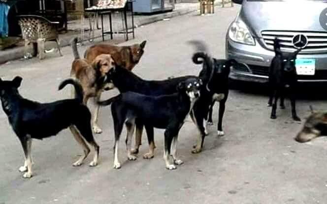 الأهالي يستغيثون بالمسئولون من إنتشار الكلاب الضالة بأبوتيج