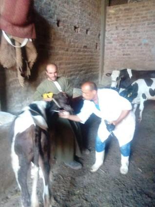 الزراعة: تحصين أكثر من 2 مليون رأس ماشية ضد مرض الحمي القلاعية حتى الان