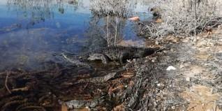البيئة تنجح فى إعادة إطلاق 8 تماسيح لبيئتها الطبيعية