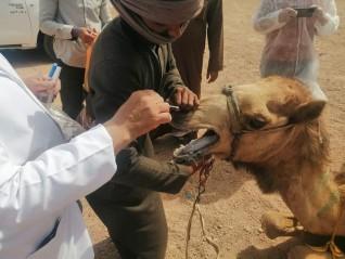 الزراعة :القافلة البيطرية المجانية تفحص الهجن بمضمار شرم الشيخ الدولي