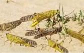 الزراعة تواصل مكافحة الجراد الصحراوي في محافظة أسوان وعلى الحدود السودانية