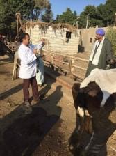 تحصين 66 ألف رأس ماشية ضد الحمى القلاعية في المنيا