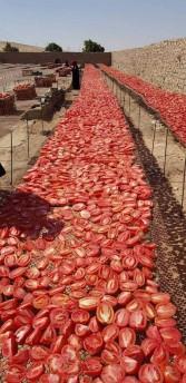 """""""الزراعة"""" تعلن عن مشروع تجفيف الطماطم بالتعاون مع برنامج الغذاء العالمى"""